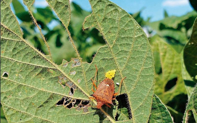 Percevejo de soja - inseticidas naturais