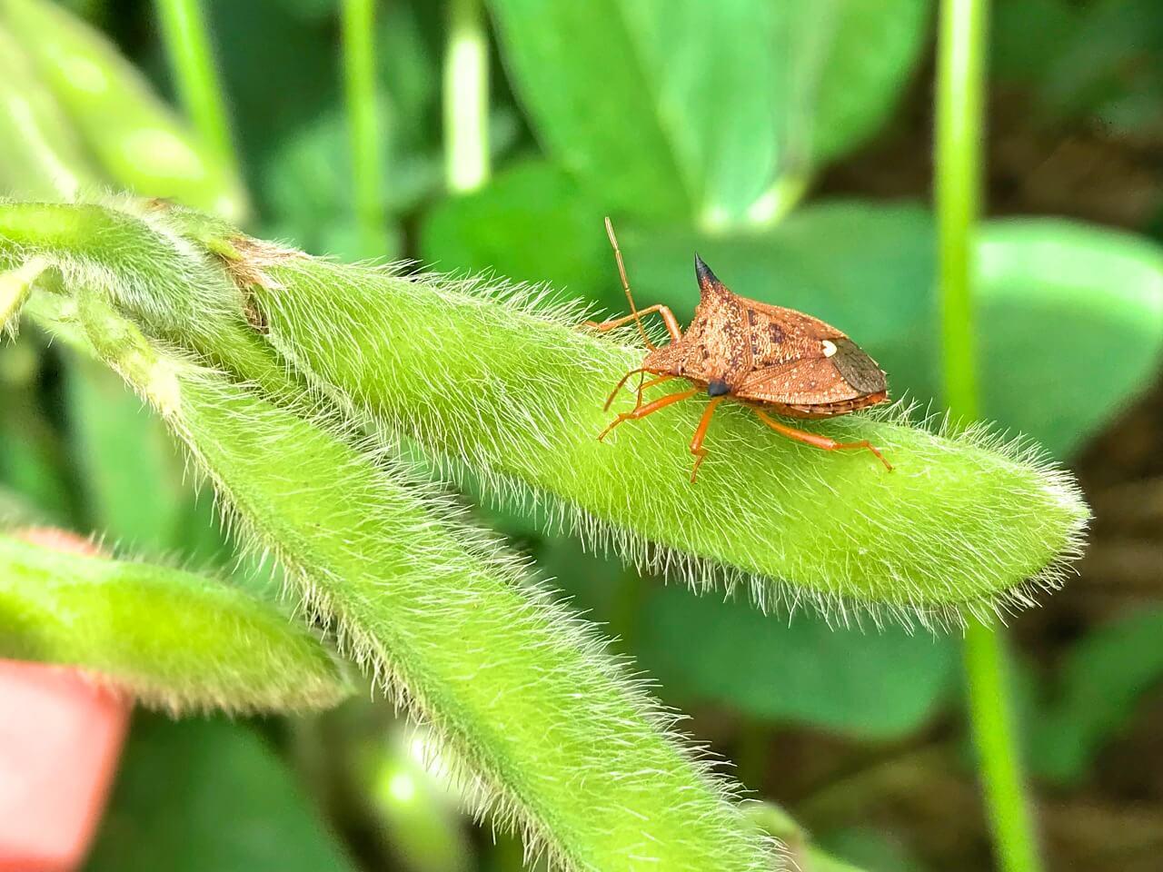 Percevejos na lavoura: quais danos esse inseto pode causar?