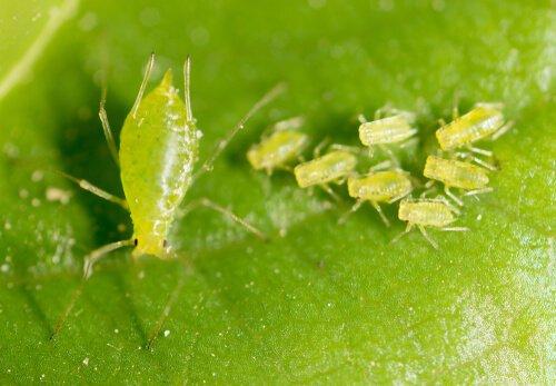 Pulgões - inseticidas naturais