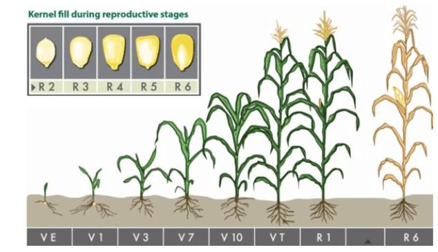 Ciclo de desenvolvimento da plantação de milho