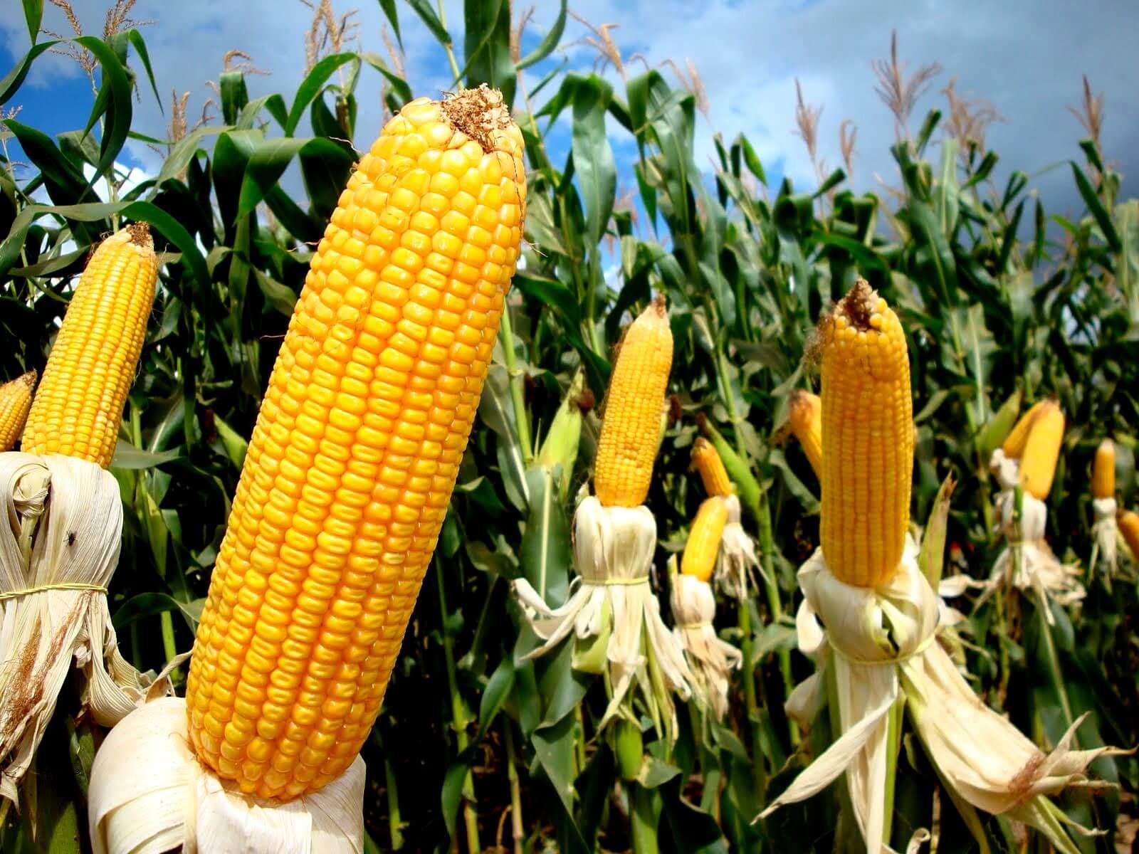 Plantação de milho: tudo o que você precisa saber para aumentar a produtividade