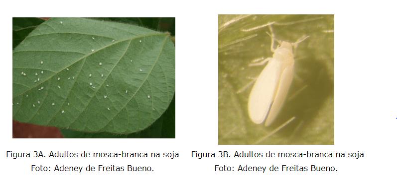 mosca branca adulta nas folhas da soja