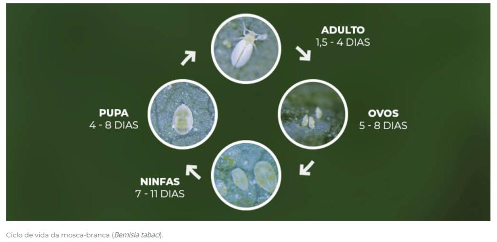 Clico de vida da mosca branca