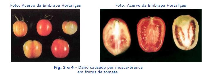 danos causados pela mosca branca no tomate