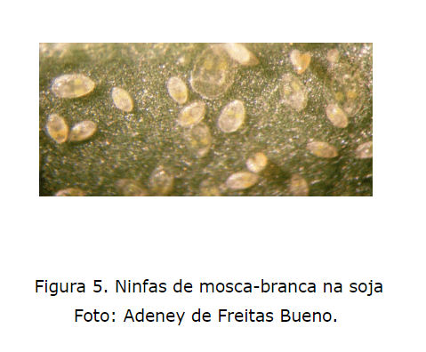Ninfas de mosca branca na soja