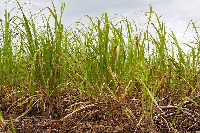 plantação cana-de-açúcar - agricultura