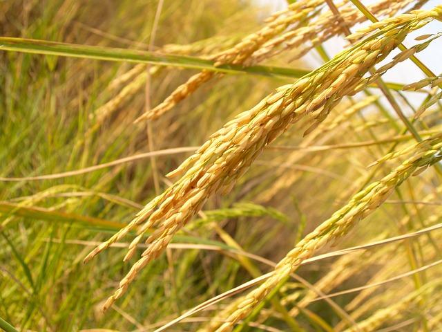 plantação de arroz - agricultura