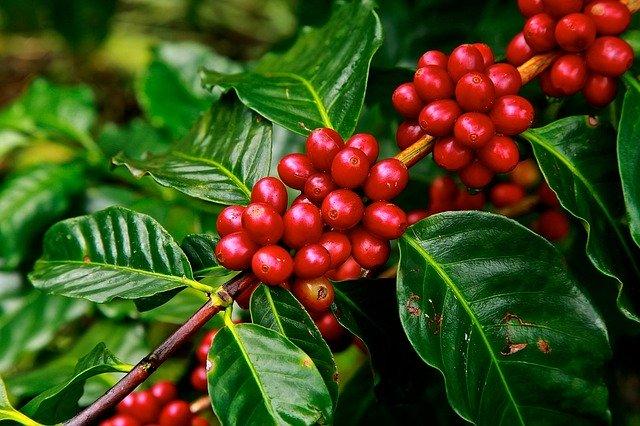 plantação de café - agricultura