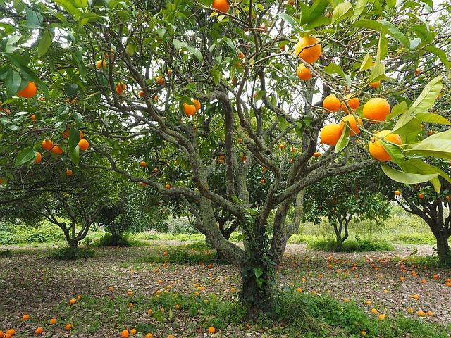 plantação de laranja - agricultura