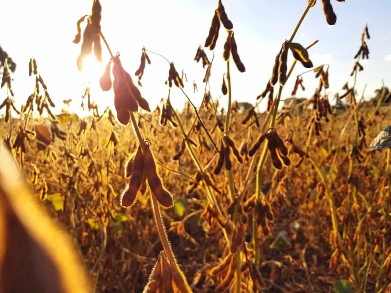 Plantação de soja: faça um manejo eficiente da sua lavoura