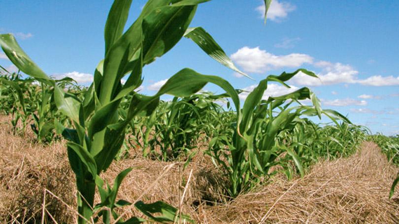Cultivo de milho em plantio direto