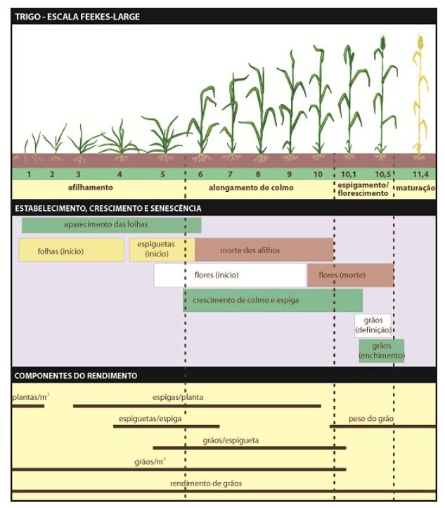 ciclo de desenvolvimento da cultura de trigo