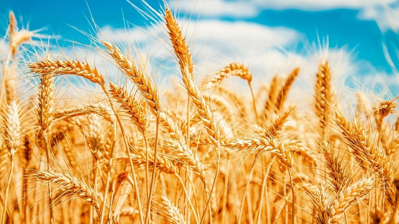 Plantio de trigo: dicas para um cultivo de sucesso