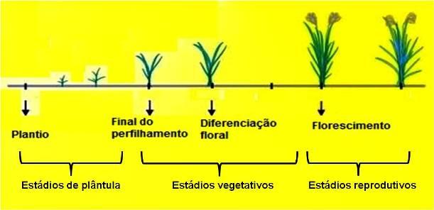Estádios fenológicos da cultura de arroz - plantação de arroz