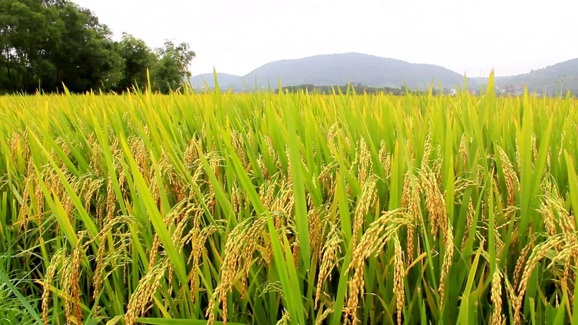 Plantação de arroz: saiba como aumentar a lucratividade da sua lavoura
