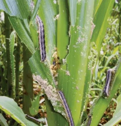 manejo-de-pragas milho