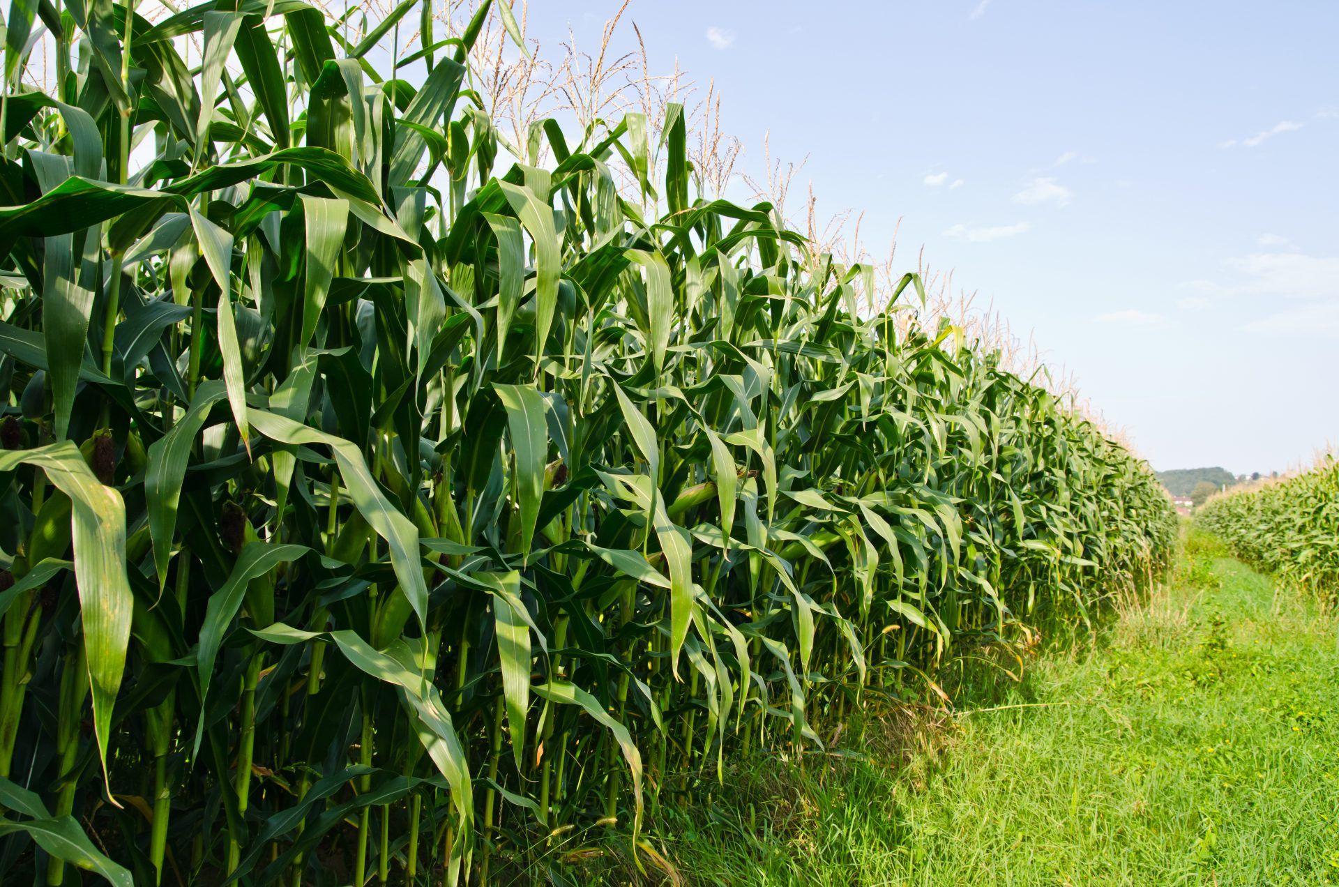 Saiba quais são as principais plantas daninhas do milho