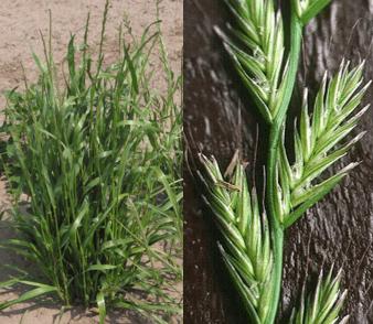plantas daninhas do trigo - azevém