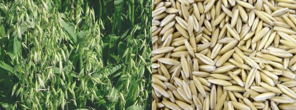 plantas daninhas do trigo - inflorescência