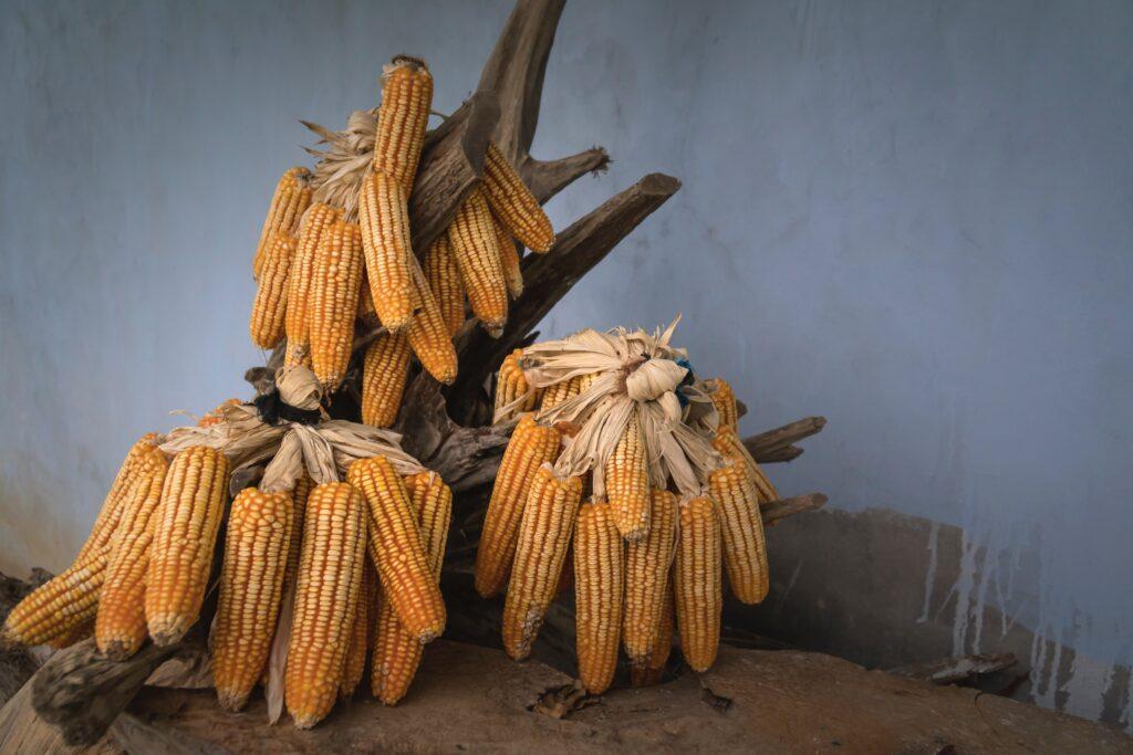 Espigas de milho